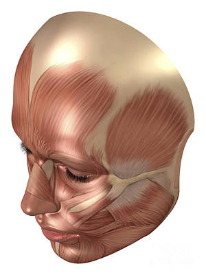 Human Head Digital Art - Anatomy Of Human Face Muscles by Stocktrek Images