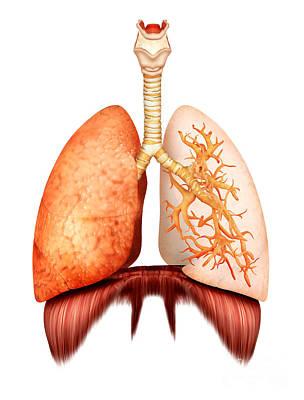 Internal Digital Art - Anatomy Of Human Respiratory System by Stocktrek Images