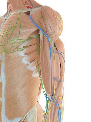 Anatomy Of Human Shoulder Art Print by Sciepro