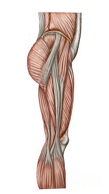 Anatomy Of Human Thigh Muscles Print by Stocktrek Images