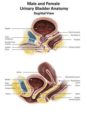 Anatomy Of Male And Female Urinary Print by Alan Gesek