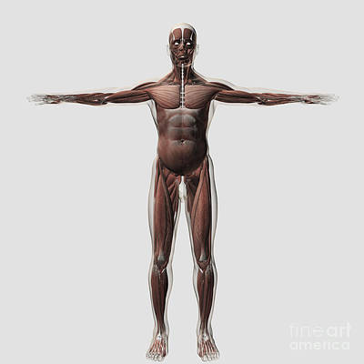 Muscular Digital Art - Anatomy Of Male Muscular System, Front by Stocktrek Images