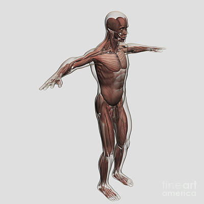 Muscular Digital Art - Anatomy Of Male Muscular System, Side by Stocktrek Images