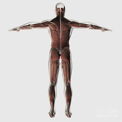 Muscular Digital Art - Anatomy Of Male Muscular System by Stocktrek Images