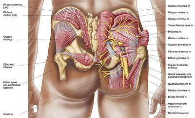 Obturator Nerves Digital Art - Anatomy Of The Gluteal Muscles by Stocktrek Images