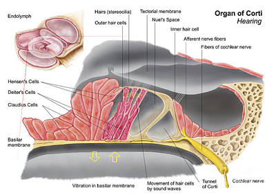 Anatomy Of The Organ Of Corti, Part Print by Stocktrek Images