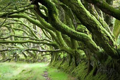 Exmoor Photograph - Ancient Beech Hedgeline On Exmoor by Ashley Cooper