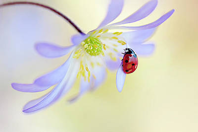 Ladybug Wall Art - Photograph - Anemone Lady by Jacky Parker