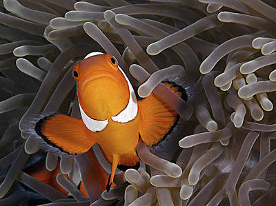Clown Fish Photograph - Anemonefish by Henry Jager