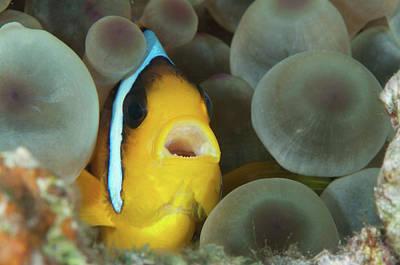 Photograph - Anemonefish, Red Sea, Egypt by Morten Beier