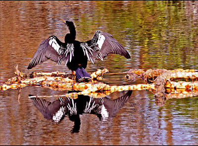 Anhinga Stretching Original by Allan Einhorn