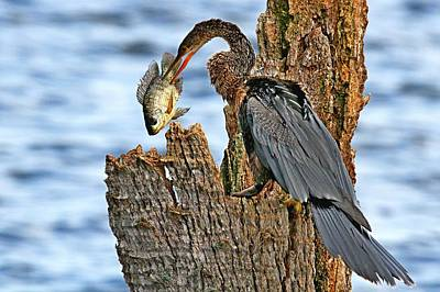 Photograph - Anhinga With Fish by Ira Runyan