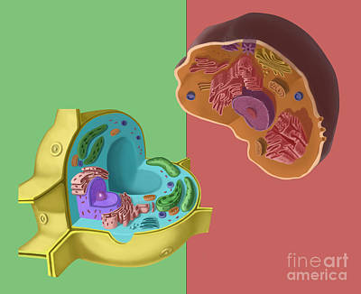 Animal And Plant Cells Art Print by Spencer Sutton