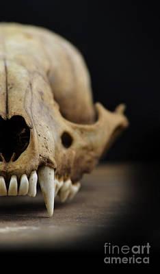Photograph - Animal Skull by Jill Battaglia