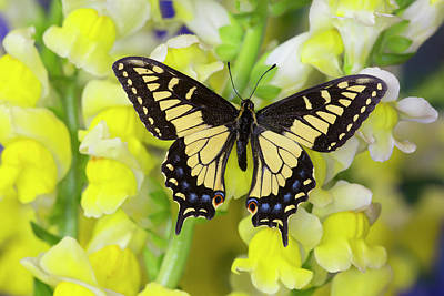 Anise Photograph - Anise Swallowtail Butterfly, Papilio by Darrell Gulin