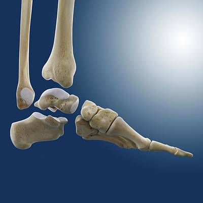 Articulate Photograph - Ankle Joint Anatomy by Springer Medizin