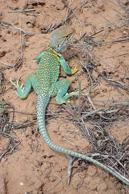 Another Collared Lizard Art Print by Susan Woodward