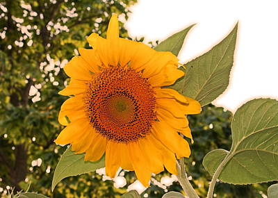 Another Sunflower Art Print by Victoria Sheldon