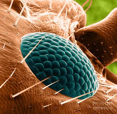 Apocrita Photograph - Ant Eye, Sem by David M. Phillips