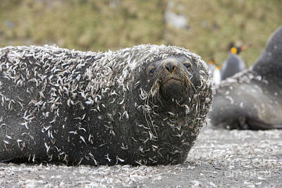 Photograph - Antarctic Fur Seal In Penguin Feathers by Yva Momatiuk and John Eastcott
