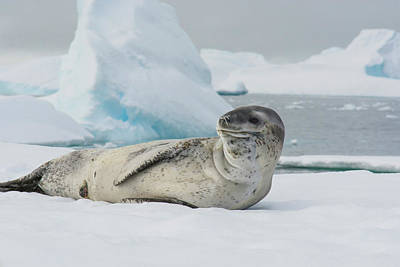 Antarctica Charlotte Bay Leopard Seal Art Print by Inger Hogstrom