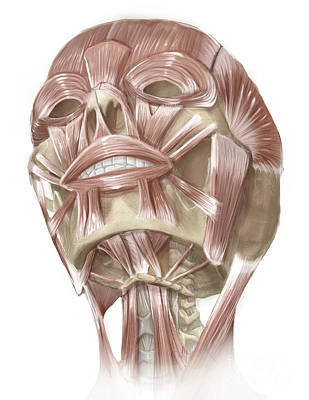Muscular Digital Art - Anterior Neck And Facial Muscles by Alan Gesek