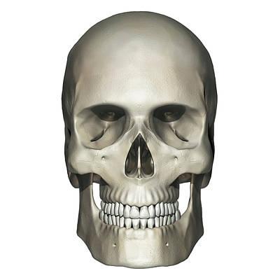 Mental Process Photograph - Anterior View Of Human Skull Anatomy by Alayna Guza