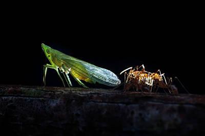 Ants Milking A Planthopper Art Print