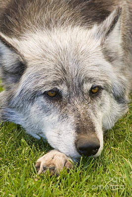 Steven Krull Royalty-Free and Rights-Managed Images - Apache the Wolf by Steven Krull