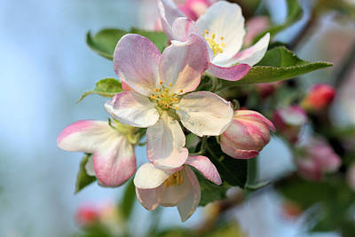 Photograph - Apple Blossom by Kristin Elmquist
