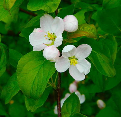 Photograph - Apple Blossoms by Johanna Bruwer