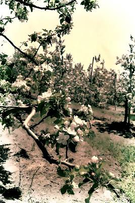 Orchards Photograph - Apple Blossoms by Michelle Calkins