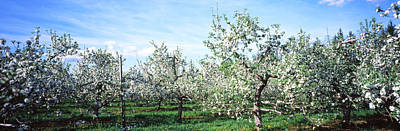 Apple Orchard Photograph - Apple Orchard, Hudson Valley, New York by Panoramic Images