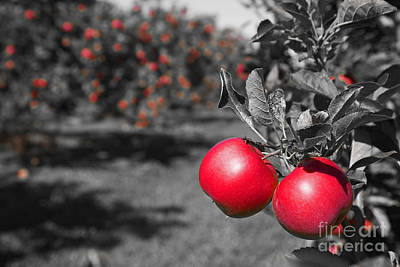 Photograph - Apple Orchard by Jim West