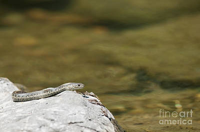 Photograph - Aquatic Garter Snake by Dan Suzio