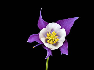 Photograph - Aquilegia - Purple by Paul Gulliver