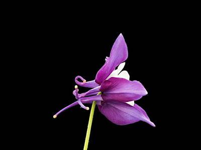 Photograph - Aquilegia Hybrid by Paul Gulliver