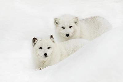 Arctic Fox Photograph - Arctic Fox In Snow, (captive by Adam Jones