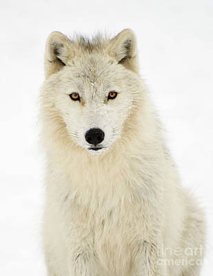 Photograph - Arctic Predator by Joshua McCullough