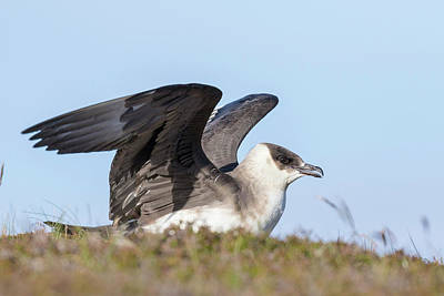 Arctic Skua Or Parasitic Jaeger Or Art Print by Martin Zwick
