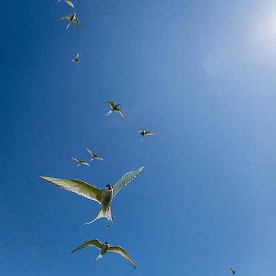 Tern Photograph - Arctic Terns Sterna Paradisaea, Flatey by Panoramic Images