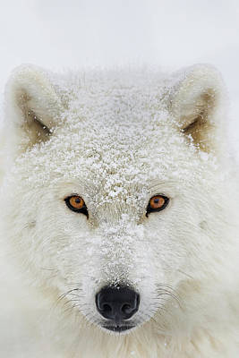 Arctic Wolf  Canis Lupus Arctos Print by Dominic Marcoux