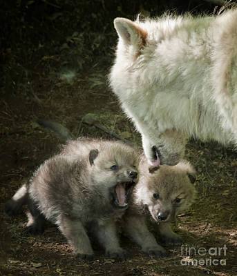 Arctic Wolf Pups Print by Wolves Only