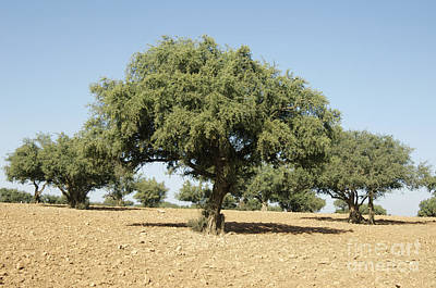 Semi Dry Photograph - Argan Trees Argania Spinosa by Johnny Greig