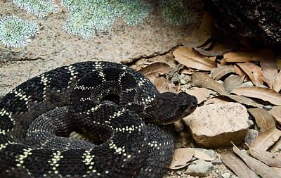 Photograph - Arizona Black Rattlesnake by Douglas Barnett