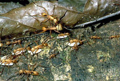Army Ant Photograph - Army Ants by Gregory G. Dimijian, M.D.