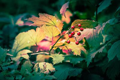 Autum Photograph - Arrowwood Berries - Featured 3 by Alexander Senin