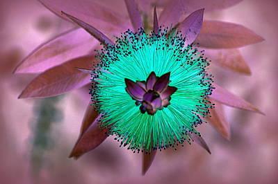 Photograph - Artistic Bottle Brush Flower by AJ  Schibig