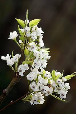 Pear Blossoms Wall Art - Photograph - Asian Pear (pyrus Pyrifolia) by Maria Mosolova