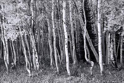 Photograph - Aspen Grove 5 by Allen Beatty